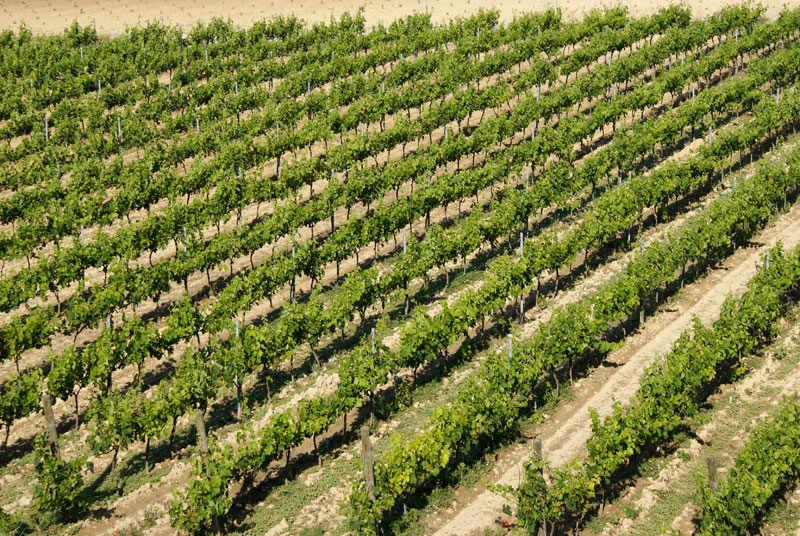 vineyards-negroamaro-salice-salentino-puglia