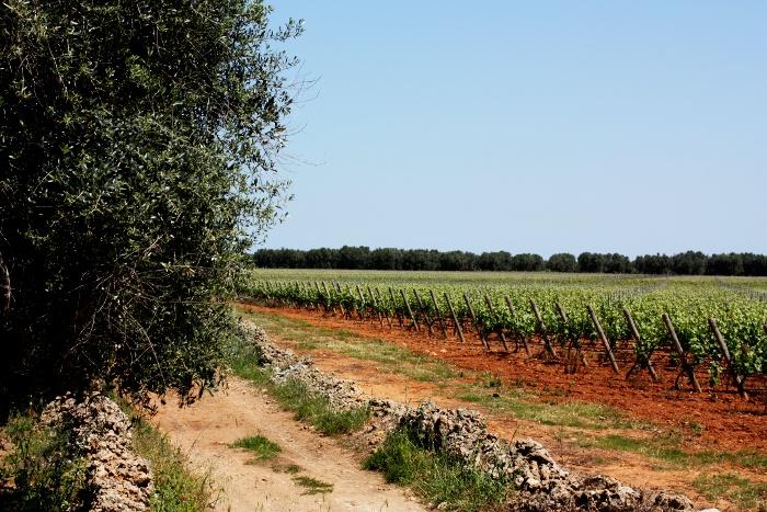 vineyards-salento-puglia-squinzano