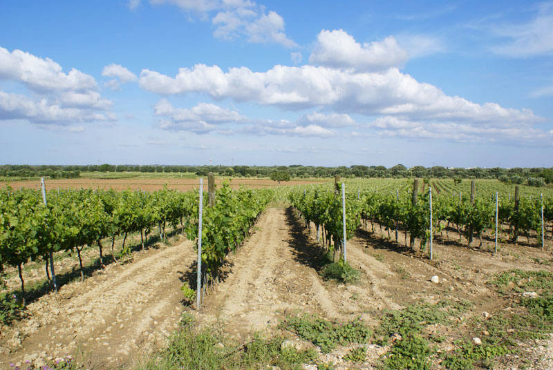 Wines of Puglia, discovering the Susumaniello wine