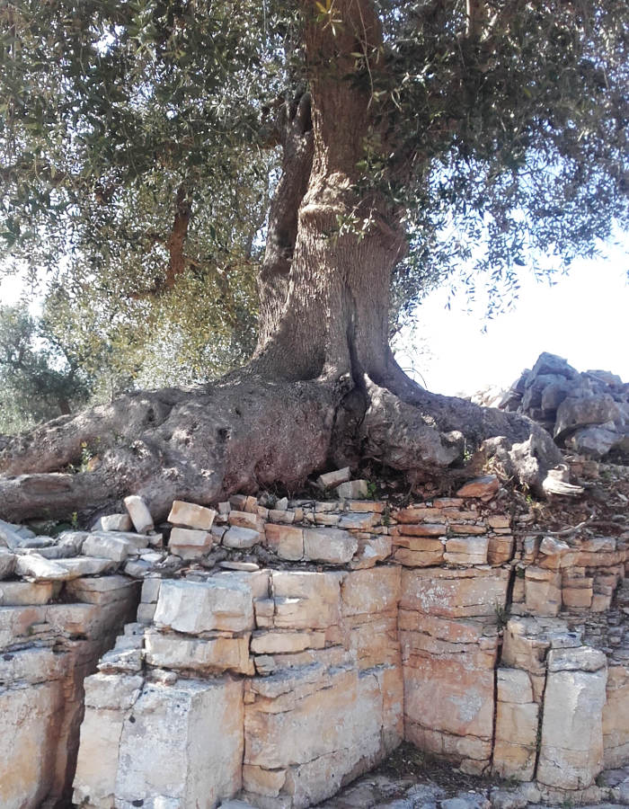 ancient-olive-tree-puglia-itria-valley