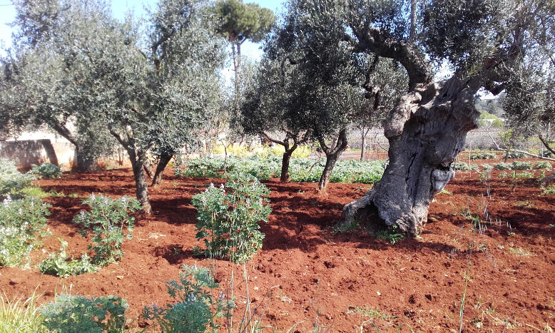 olive-tree-ceglie-messapica